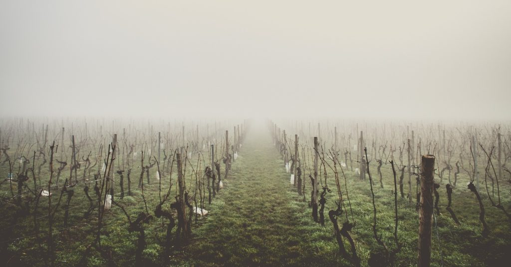 foggy field of naked grape vines
