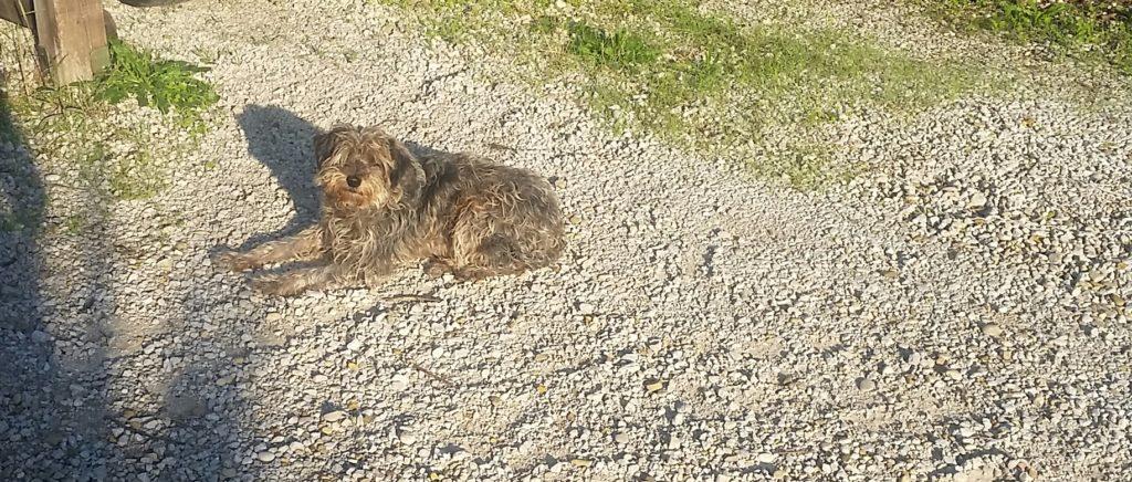 grey shaggy mutt dog lying down in gravel
