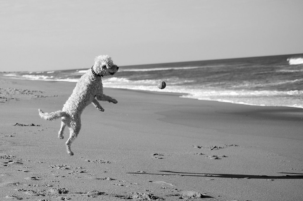 dog leaping for ball