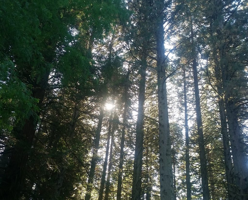 looking up at the sun shining through redwood trees in portland