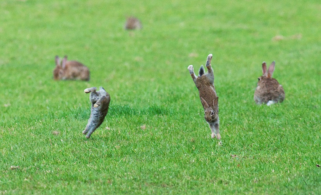 jumping rabbits in a field